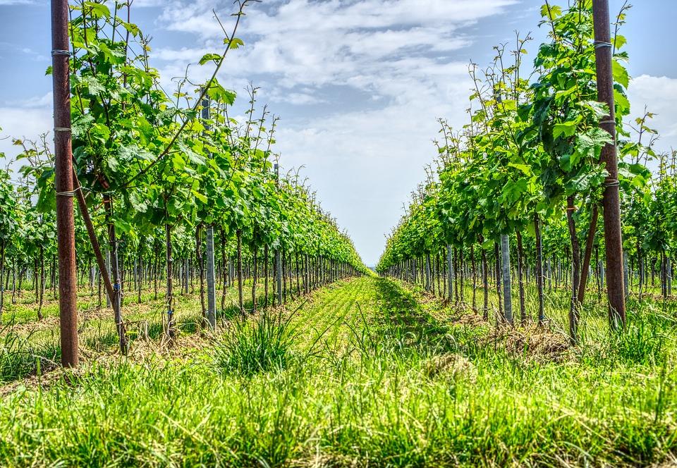 vineyard-3439705_960_720